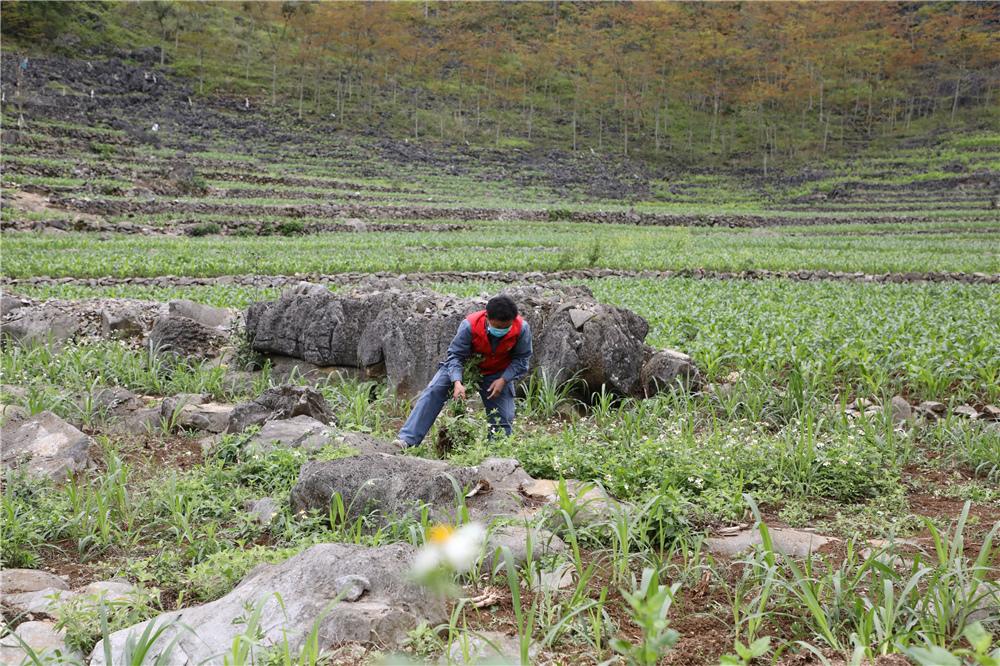 滕升生在羊舍前的草料种植地除草.jpg