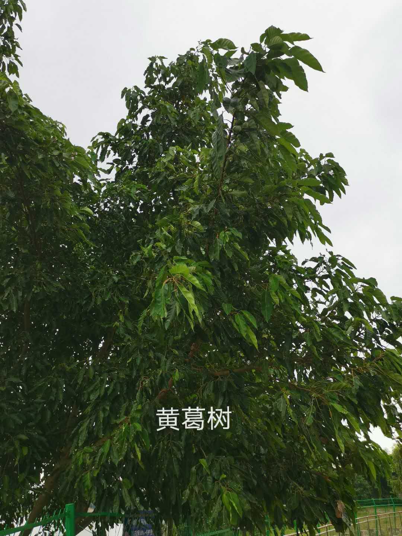 黄葛树.jpg