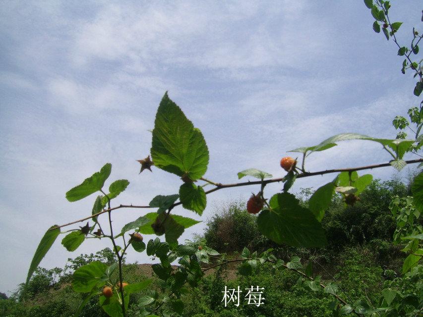 野生树莓.jpg